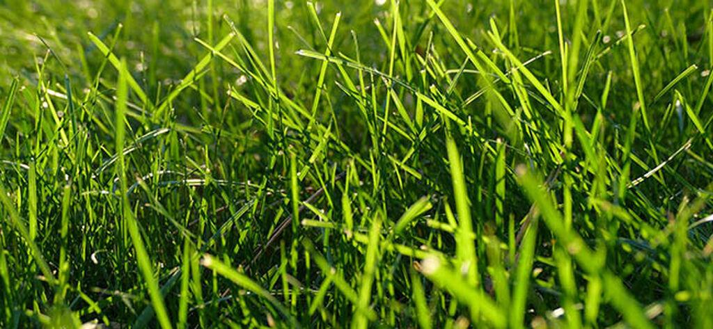 Heinäkasvit (nurmikko)