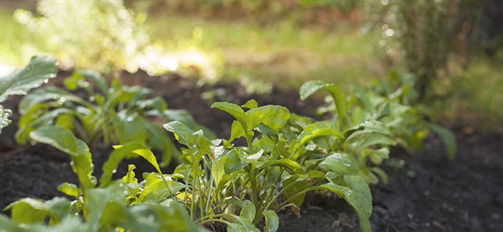 Kasvata rukolaa