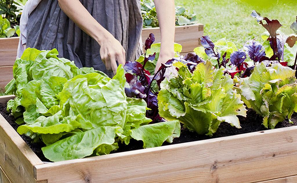 Kasvata omat salaattisi
