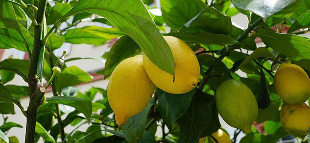Sitruunapuu