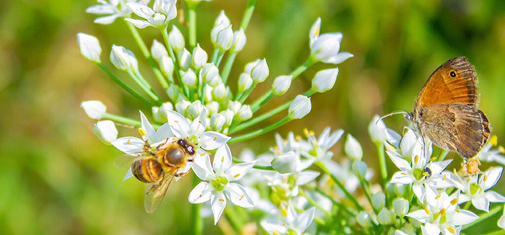 Toivota hyötyhyönteiset tervetulleeksi puutarhaasi