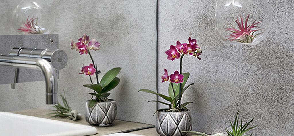 Ripustettavat Airplant-kasvit