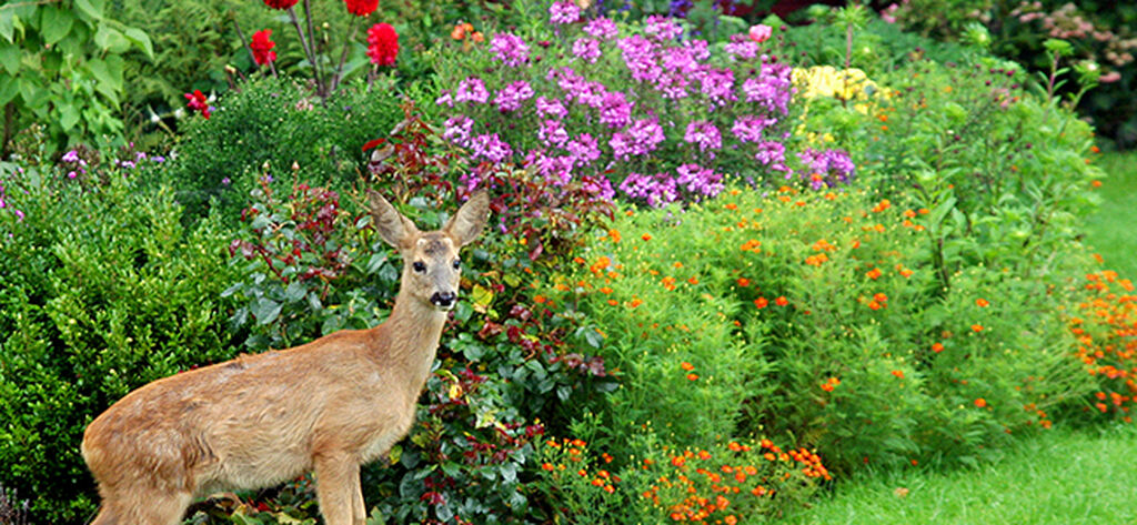 Näin karkotat metsäkauriit puutarhastasi
