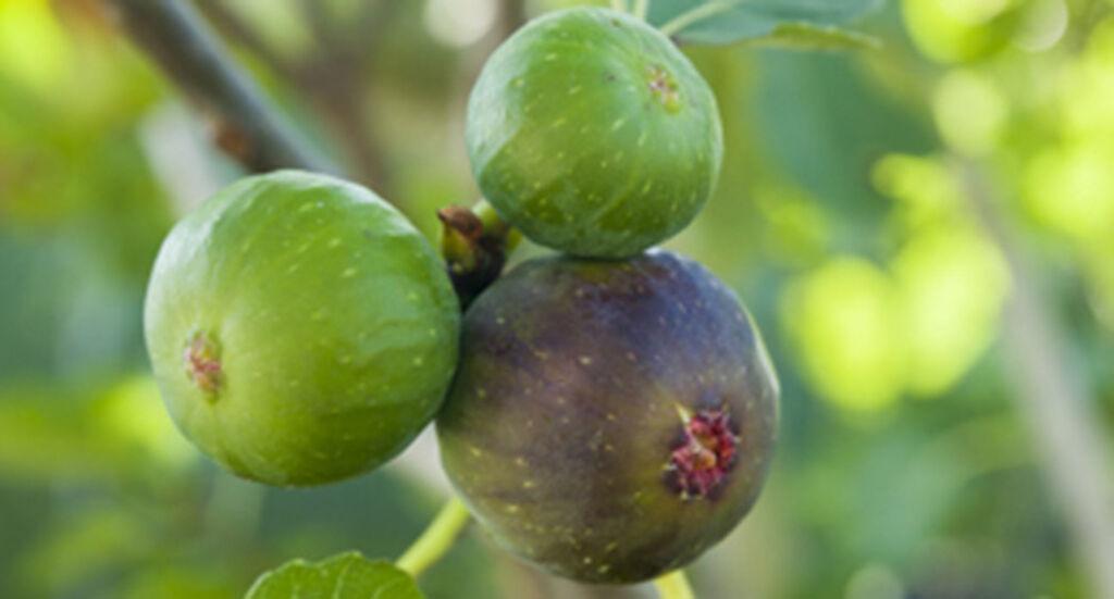 Ficus carica - Aitoviikuna