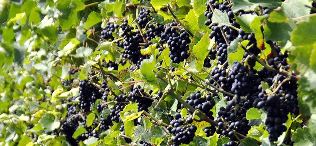 Viinirypäleet - näin onnistut