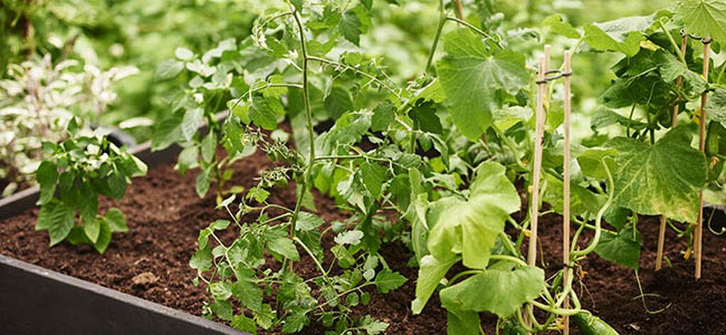 Näin saat syötävät kasvit menestymään