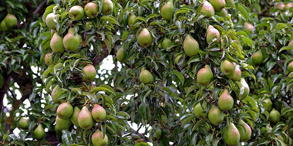 Päärynäpuu
