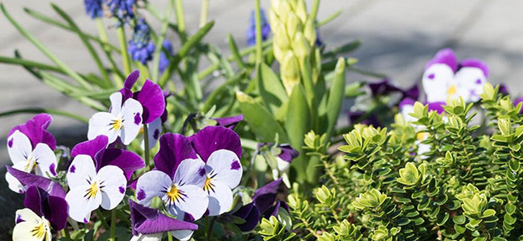 Kevätkukat ruukuissa – näin onnistut