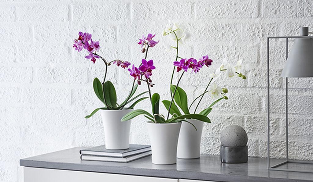 Orkideat – näin onnistut