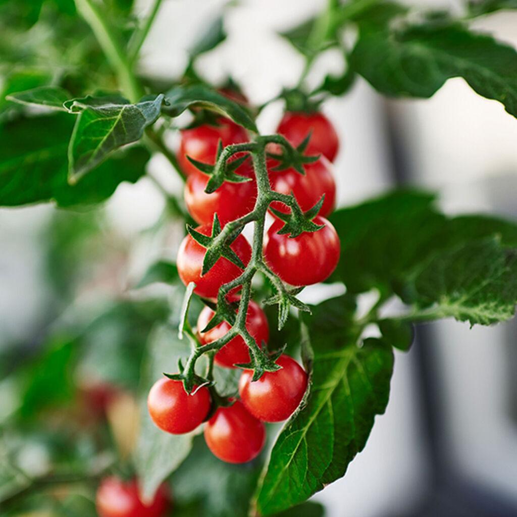 Tomaattien kasvattaminen