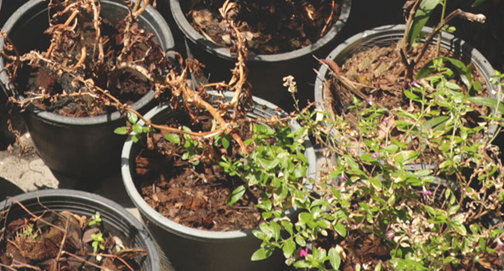 Opas: istuta edulliset kasvilöydöt myöhään syksyllä