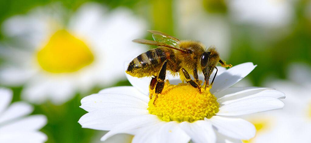 Pölytystä ja mehiläisten hyvinvointia edistävät kasvit