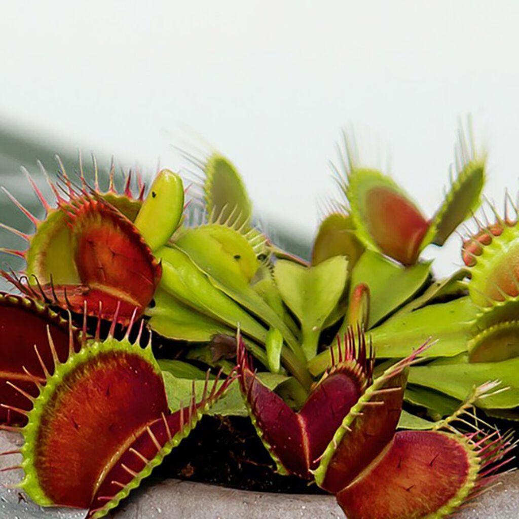 Lihansyöjäkasveja kotona – kyllä vain!