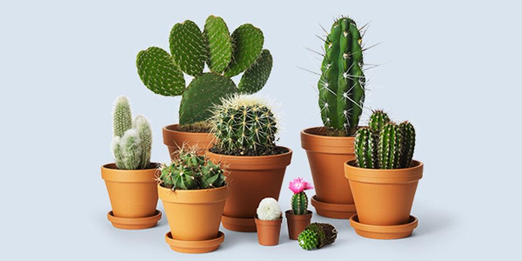 Kaktuksen Istutus