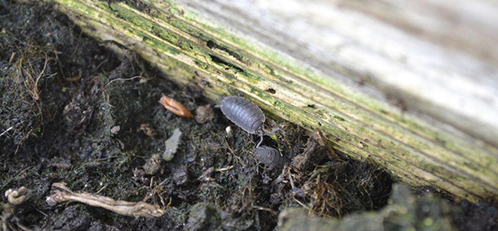 Hajottajat - maaperän pieneliöt tuottavat multaa