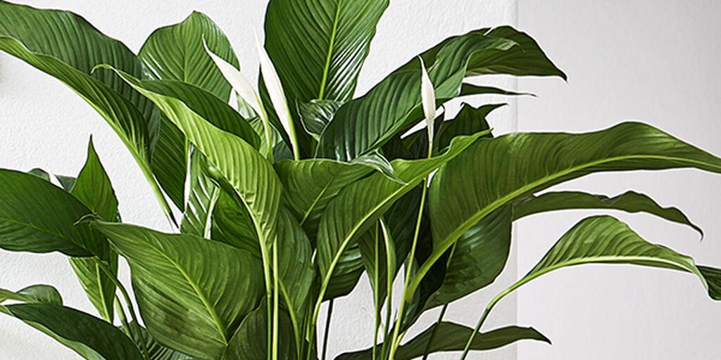 Näin kasvit puhdistavat ilmaa