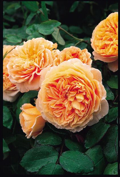 David Austen Ruusu 'Crown Princess Margareta' , Ø21 cm, Oranssi