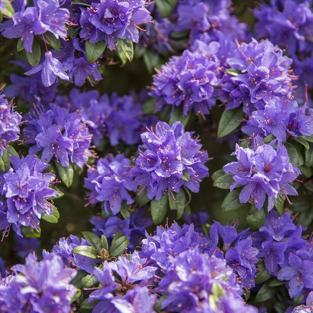 Lapinalppiruusu 'Purple Pillow', Ø17 cm, Violetti