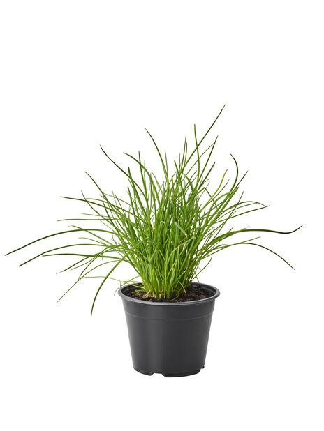 Ruohosipuli, Ø14 cm, Vihreä