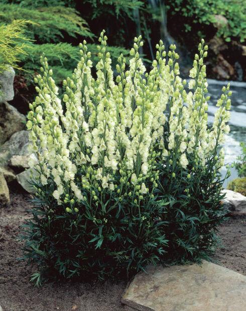 Tarhaukonhattu, Korkeus 15 cm, Valkoinen