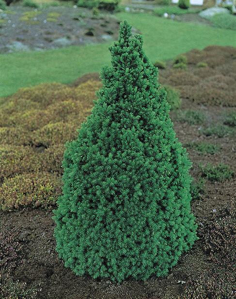 Kartiovalkokuusi, Korkeus 40-50 cm, Vihreä