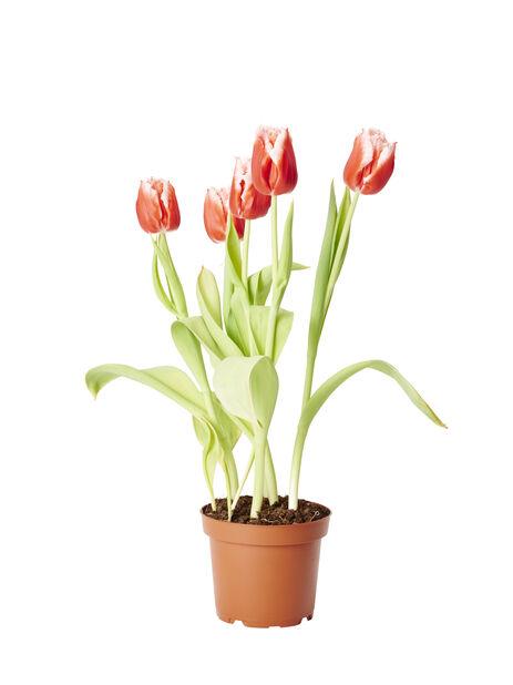 Tulipa 'Prinses Irene' 12 cm