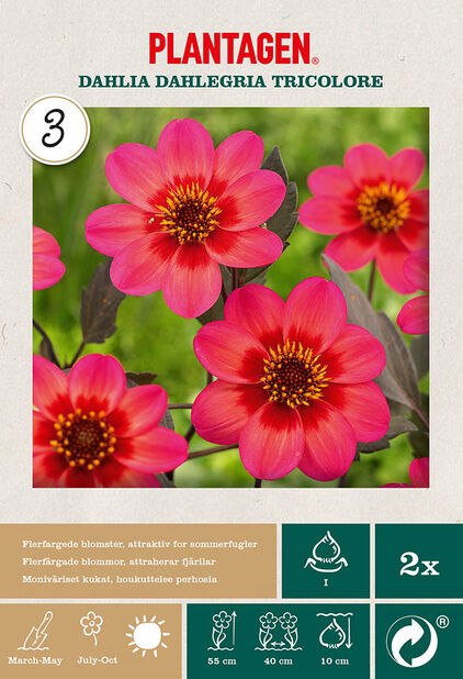 Mignondaalia 'Dahlegria Tricolore', Pinkki