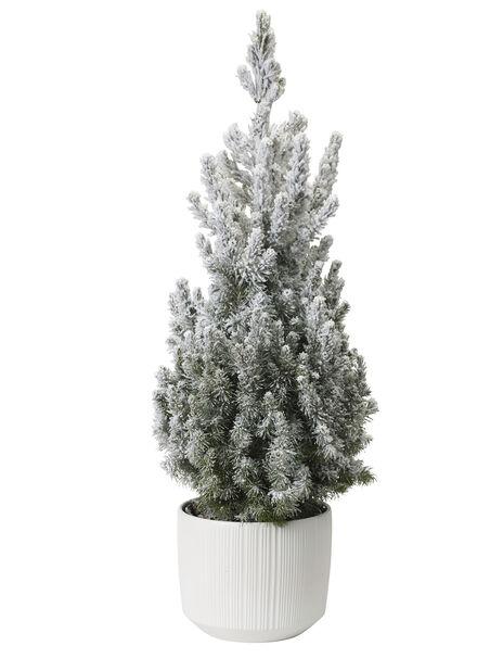 Kartiovalkokuusi , Korkeus 70 cm, Valkoinen