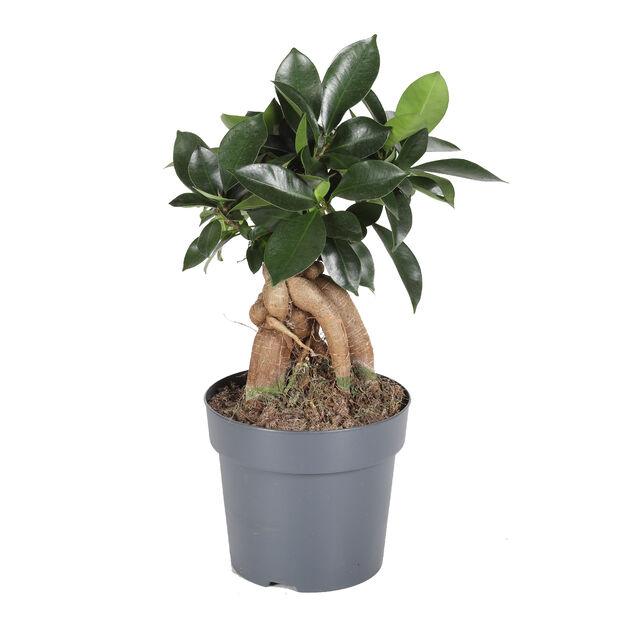 Varjoviikuna, Korkeus 35 cm, Vihreä