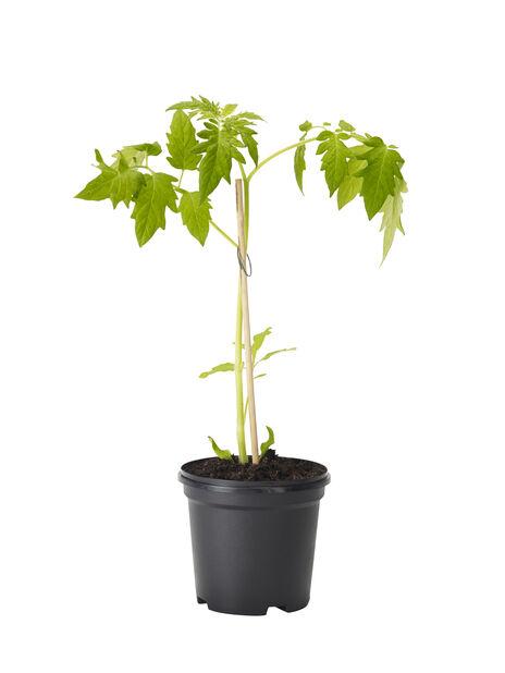 Tomaatti 'Tarzan', Ø10.5 cm, Punainen