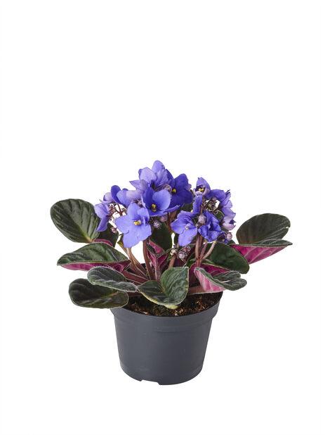 Paavalinkukka 'Ionantha', Korkeus 15 cm, Sininen