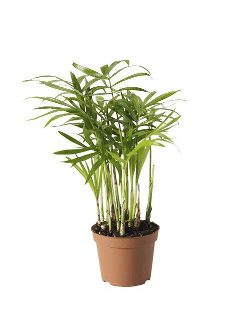 Minikokoinen sirovuoripalmu, Korkeus 10 cm, Vihreä