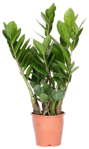 Palmuvehka, Korkeus 30 cm, Vihreä