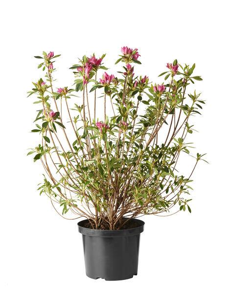 Japaninatsalea 'Roza', Korkeus 30-40 cm, Pinkki