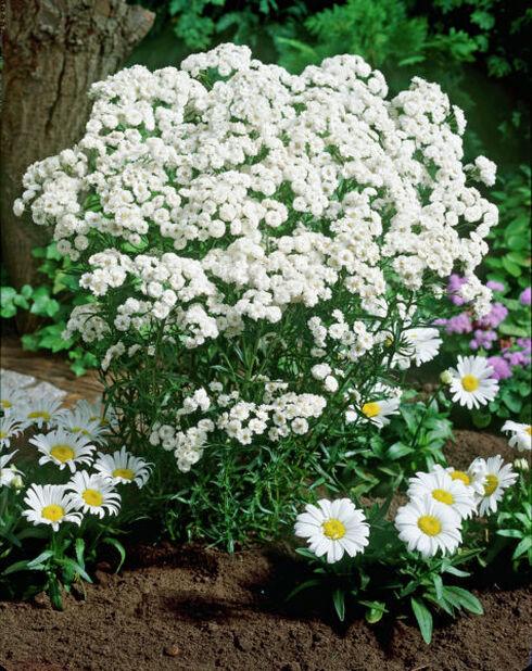 Koreakärsämö , Korkeus 15 cm, Valkoinen
