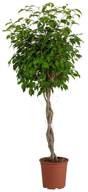 Limoviikuna 'Winter Green', Korkeus 130 cm, Vihreä