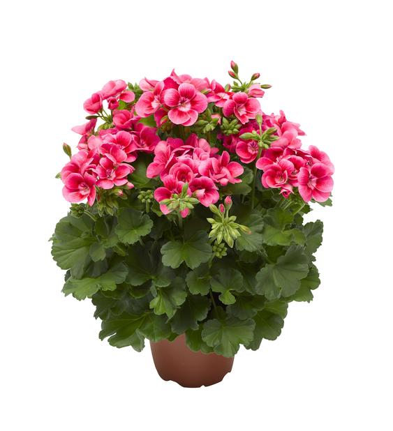 Pelargoni 'Pink Splash', Ø14 cm, Pinkki