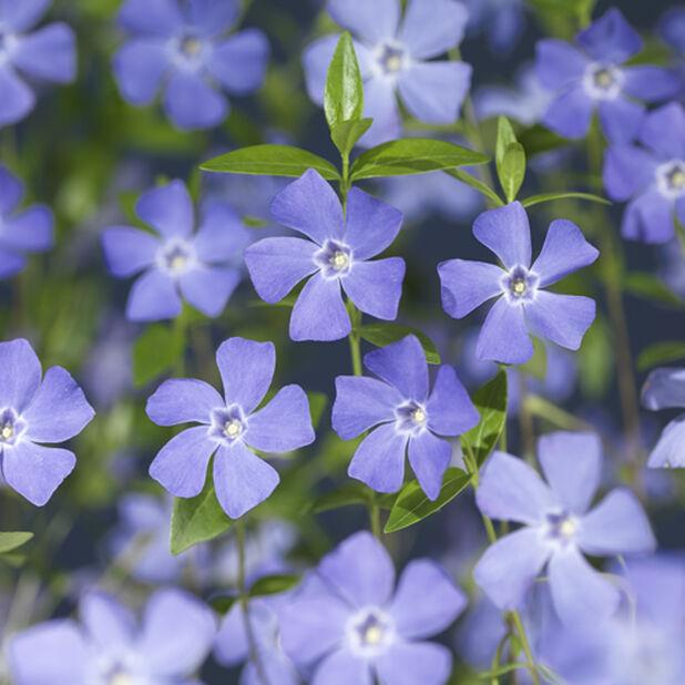 Pikkutalvio 6-p, Korkeus 15 cm, Sininen