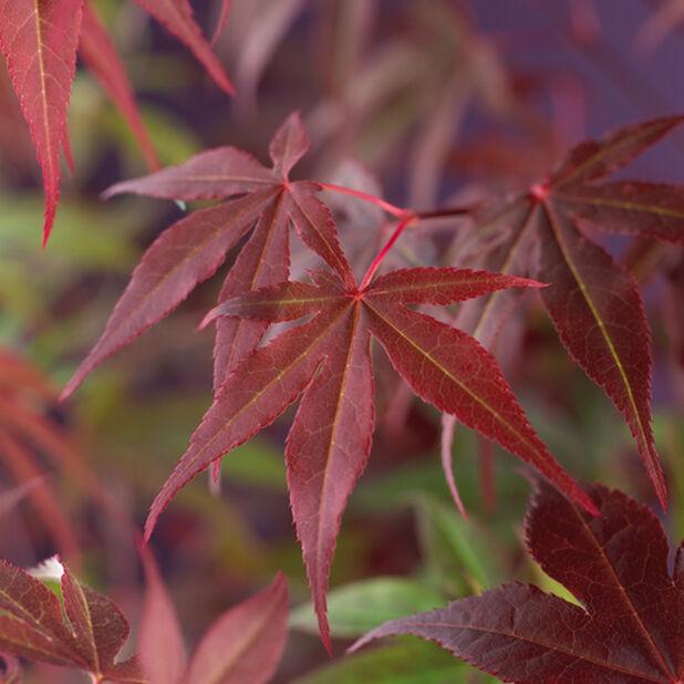 Japaninvaahtera 'Atropurpureum', Ø19 cm, Punainen
