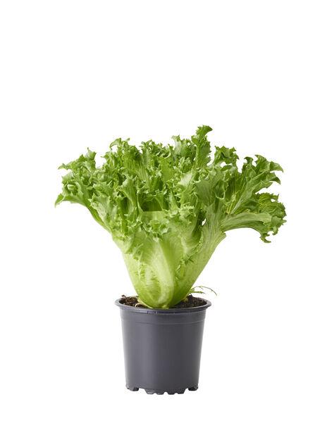 Salaatti, Ø10.5 cm, Vihreä