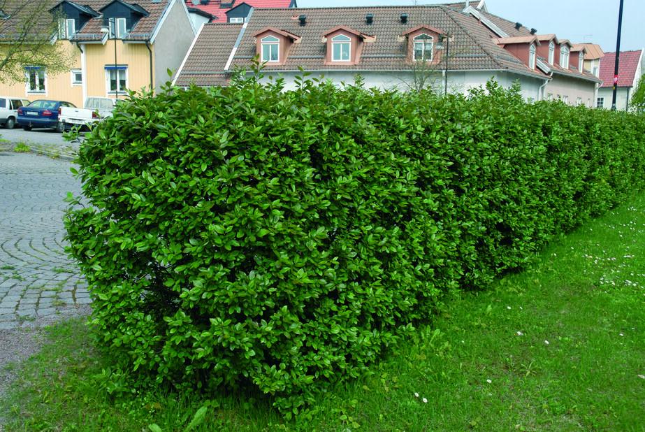 Kiiltotuhkapensas, Korkeus 40 cm, Valkoinen