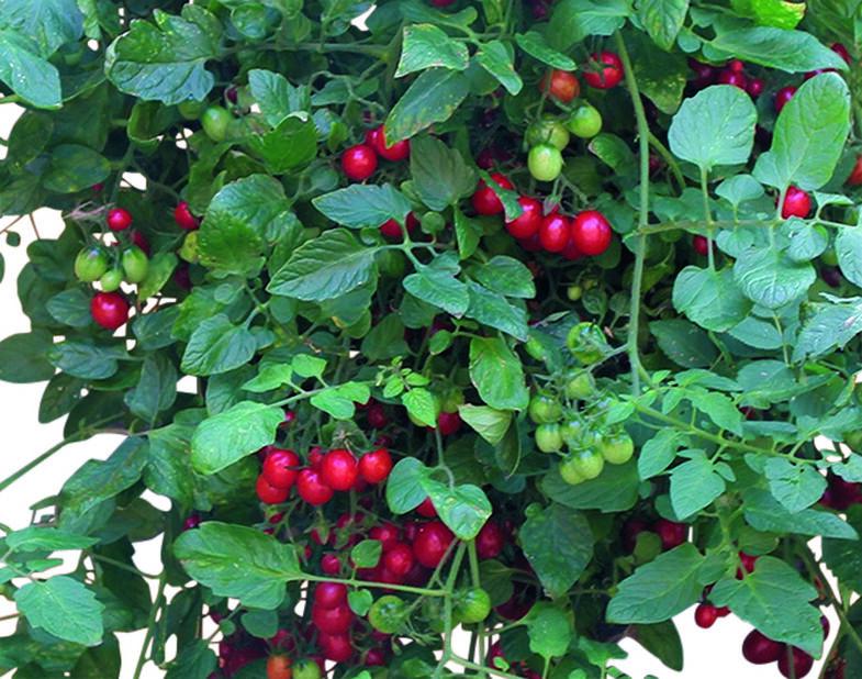 Luumutomaatti 'Romello', Ø10.5 cm, Punainen