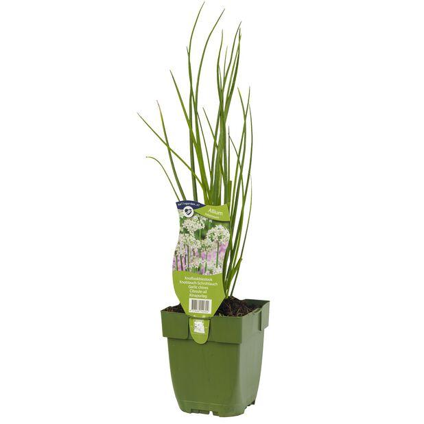 Kiinansipuli, Korkeus 15 cm, Vihreä