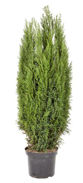 Sypressi , Korkeus 100 cm, Sininen