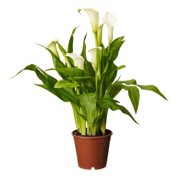 Huonevehka , Korkeus 48 cm, Valkoinen