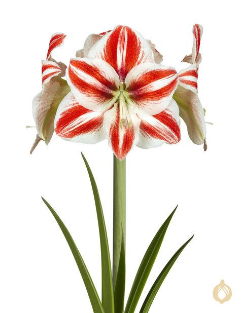Amaryllis eri lajikkeita 2-vanainen 13 cm