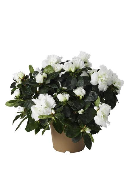 Rhododendron 15-17 White 10,5 cm