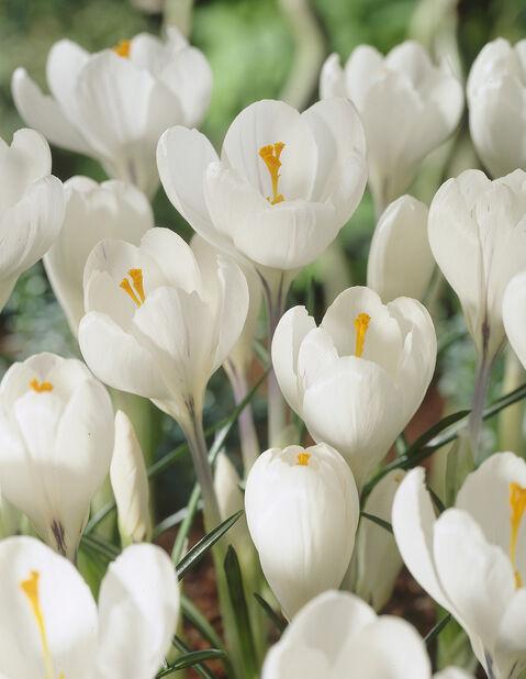 Kevätsahrami 'Jeanne D'Arc', Valkoinen
