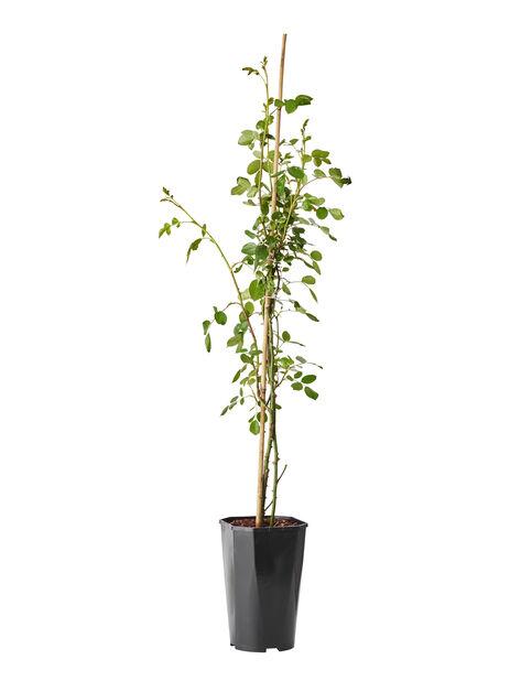 Köynnösruusu 'Lichtkönigin Lucia', Korkeus 100 cm, Keltainen