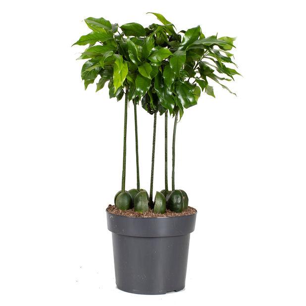 Puupapu, Korkeus 50 cm, Vihreä